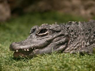 Jak se krotí krokodýli
