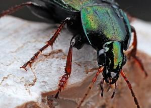 beetle-562035_640