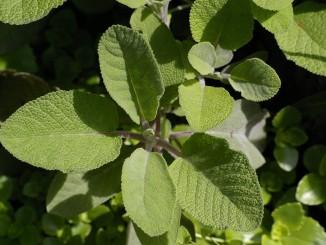 Jaké bylinky pomáhají při menopauze?