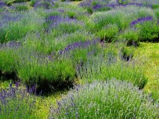 Jaké účinky mají bylinky z truhlíku?