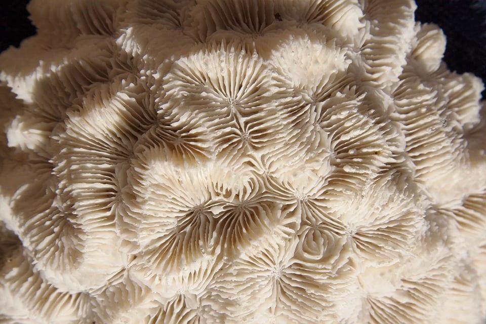 Co je korálovec?