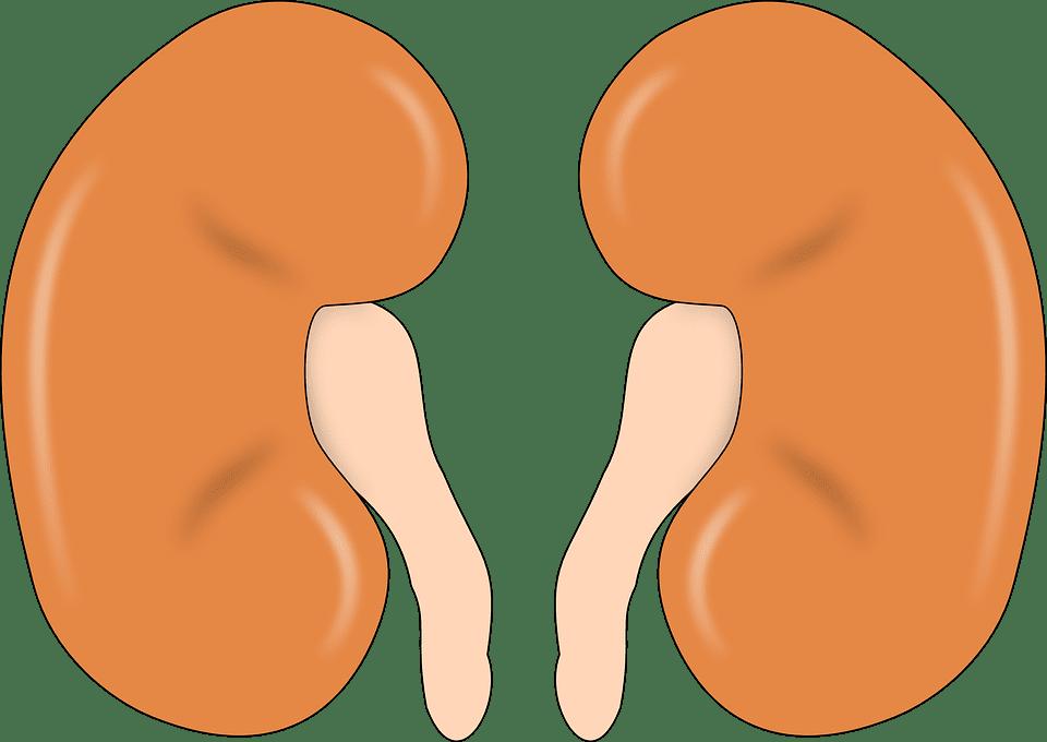 Jak mít zdravé ledviny?