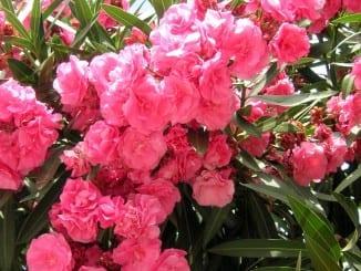 Jak pěstovat oleandry?