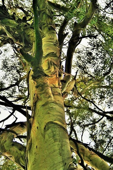 Jaké účinky má Eukalyptus?