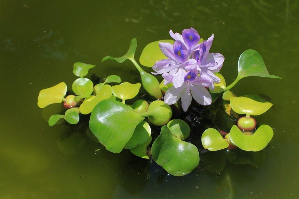 Co je vodní hyacint?