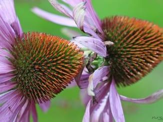 Co je Echinacea?