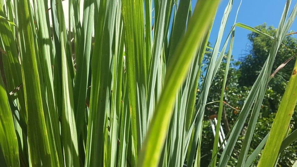Co je citronová tráva?