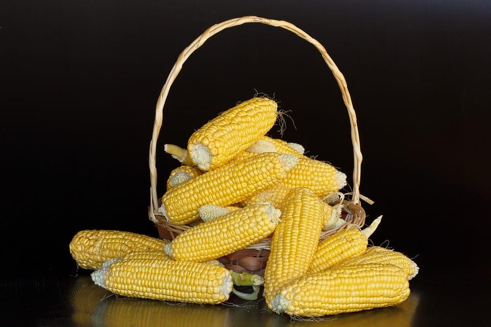 Jak prospívá kukuřice?