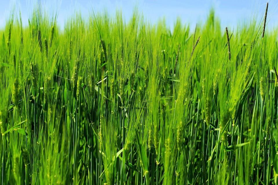Co je zelený ječmen?