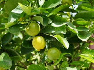 Jak pěstovat citrusy na zimní zahradě?