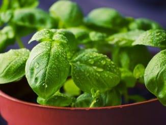 Jak pěstovat bylinky za oknem?