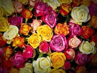 Jak pomáhá růže?