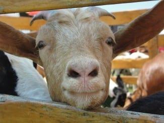 Proč konzumovat kozí mléko?