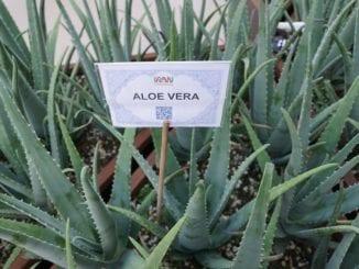 Co lze vyrobit z aloe vera?