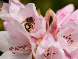 Jak pěstovat rododendrony?