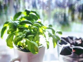 Jaké bylinky posílí imunitu?