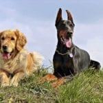 Jak naučit psa povel lehni