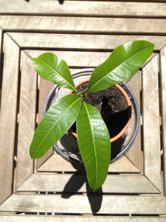 Jak vypěstovat mango?