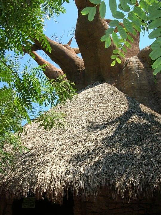 Jak prospívá baobab?