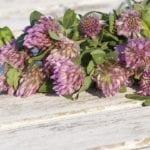 Jak chryzantémy vydrží déle