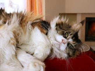 Jakou vybrat kočku do domácnosti?