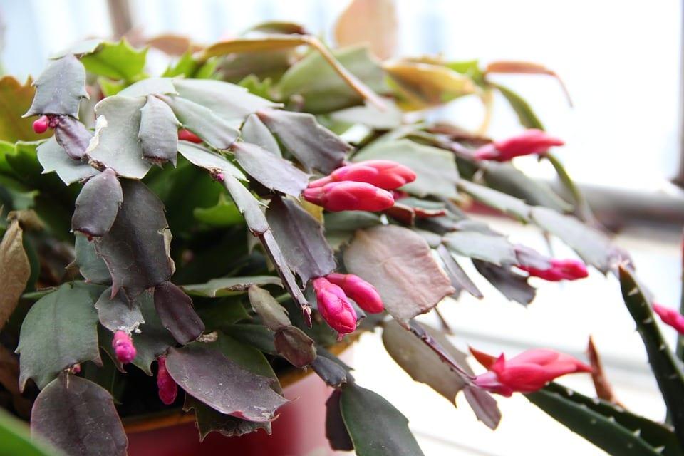 Jak se starat o vánoční kaktus?