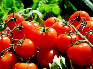 Proč jsou rajčata oblíbená?