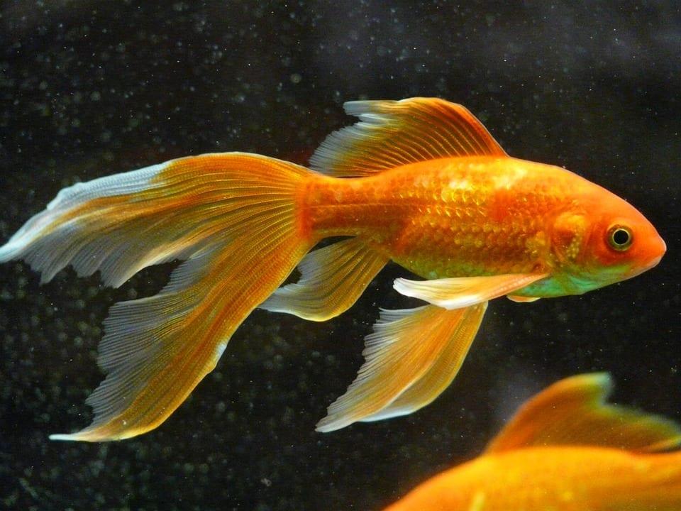 Jak se správně starat o zlaté rybky?