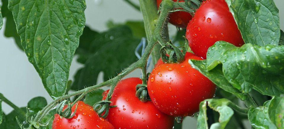 Rajčata zvládne pěstovat každý! Přesný postup, jak na to