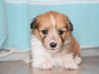 Pořídili jste si štěně a nevíte si rady, jak ho naučit na venčení? Pomůže vám pár jednoduchých rad
