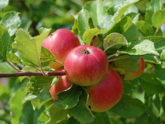 Jak se správně starat o ovocné stromy?